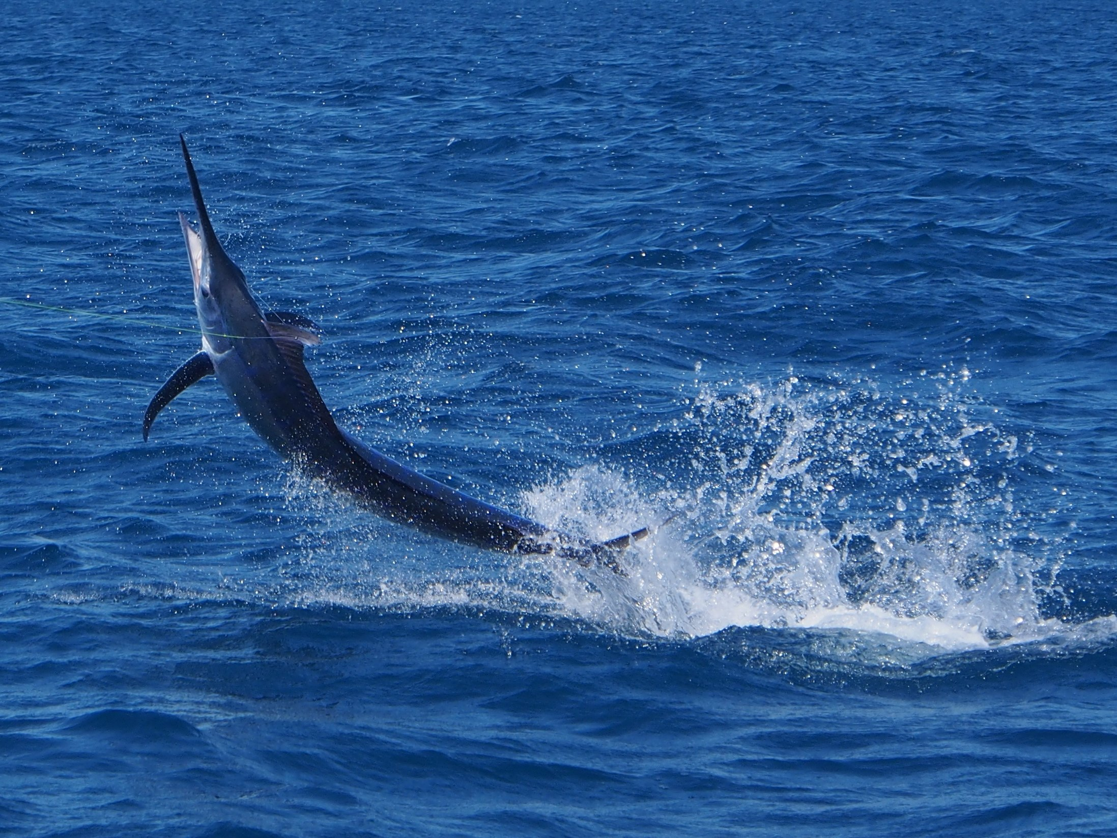 1_Sailfish_Broome_Fishing