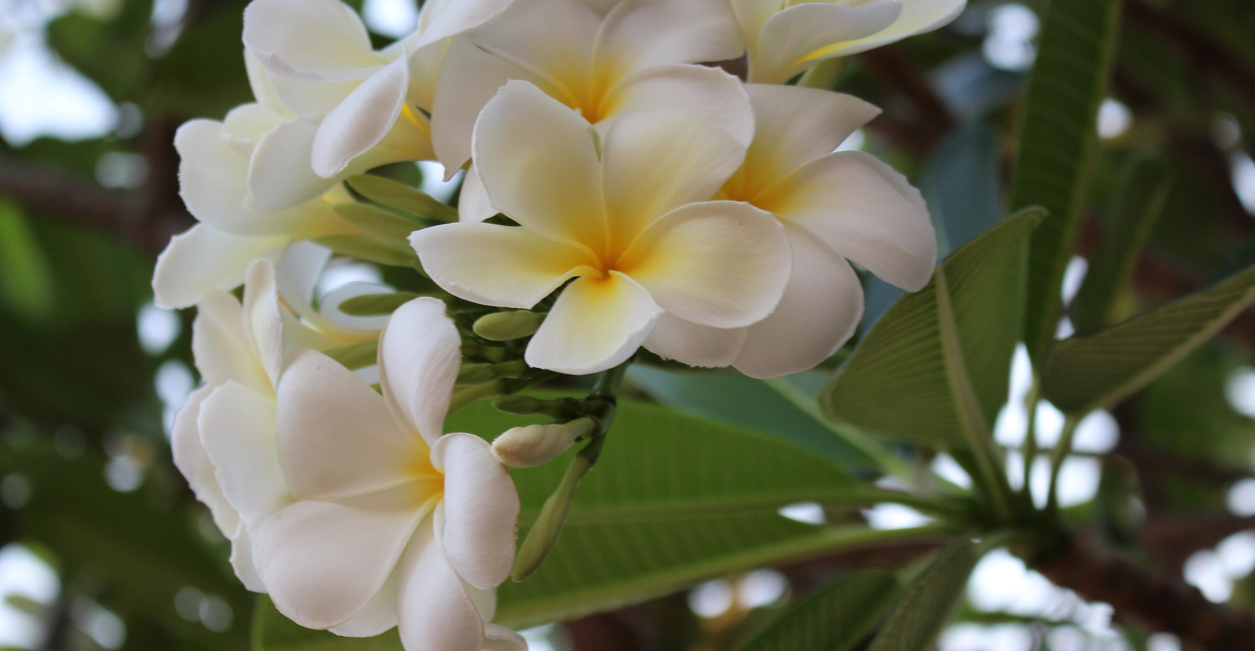 Frangipani_in_bloom