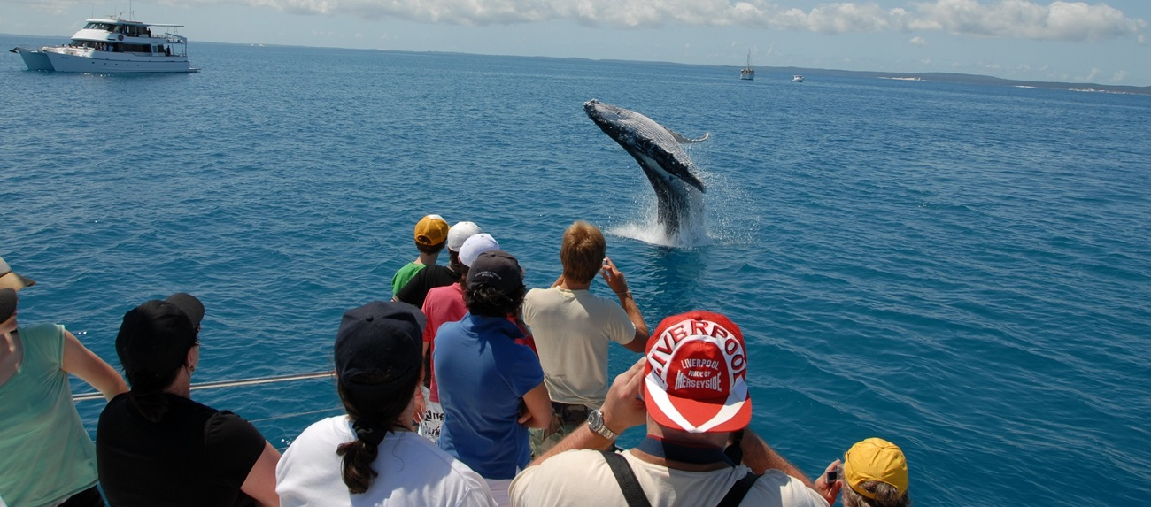 hervey-bay-whale-watching-tour-breach